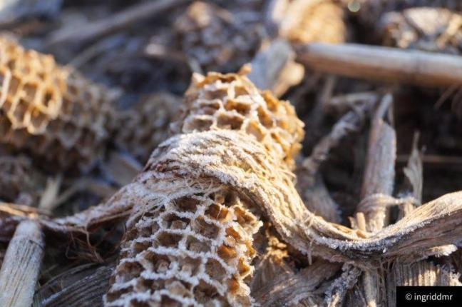 corn frost