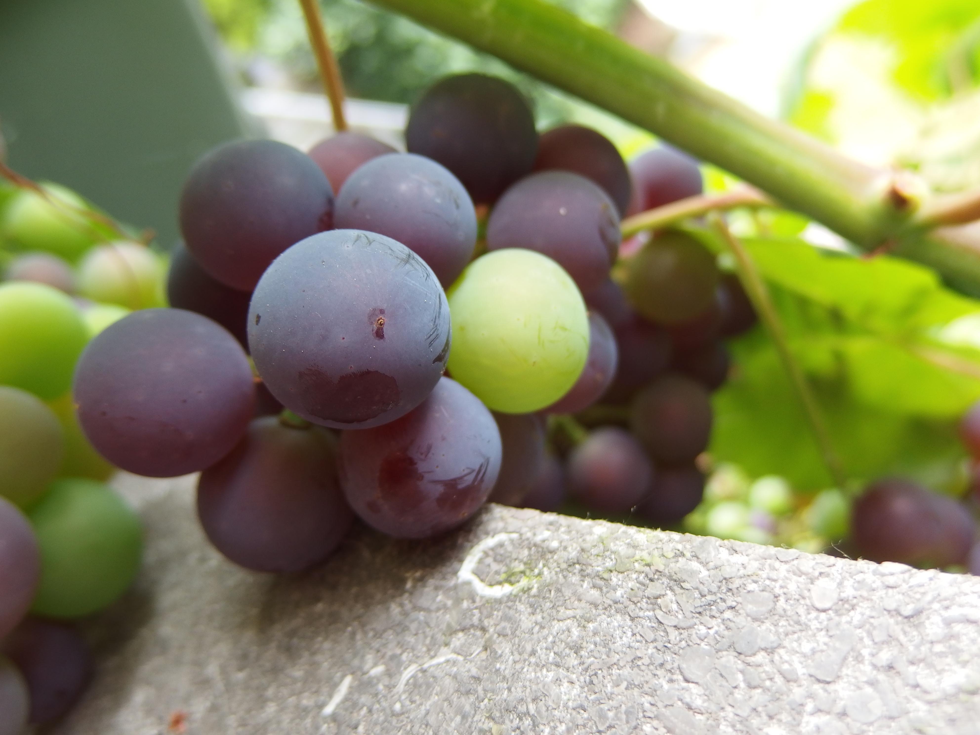 grapes garden