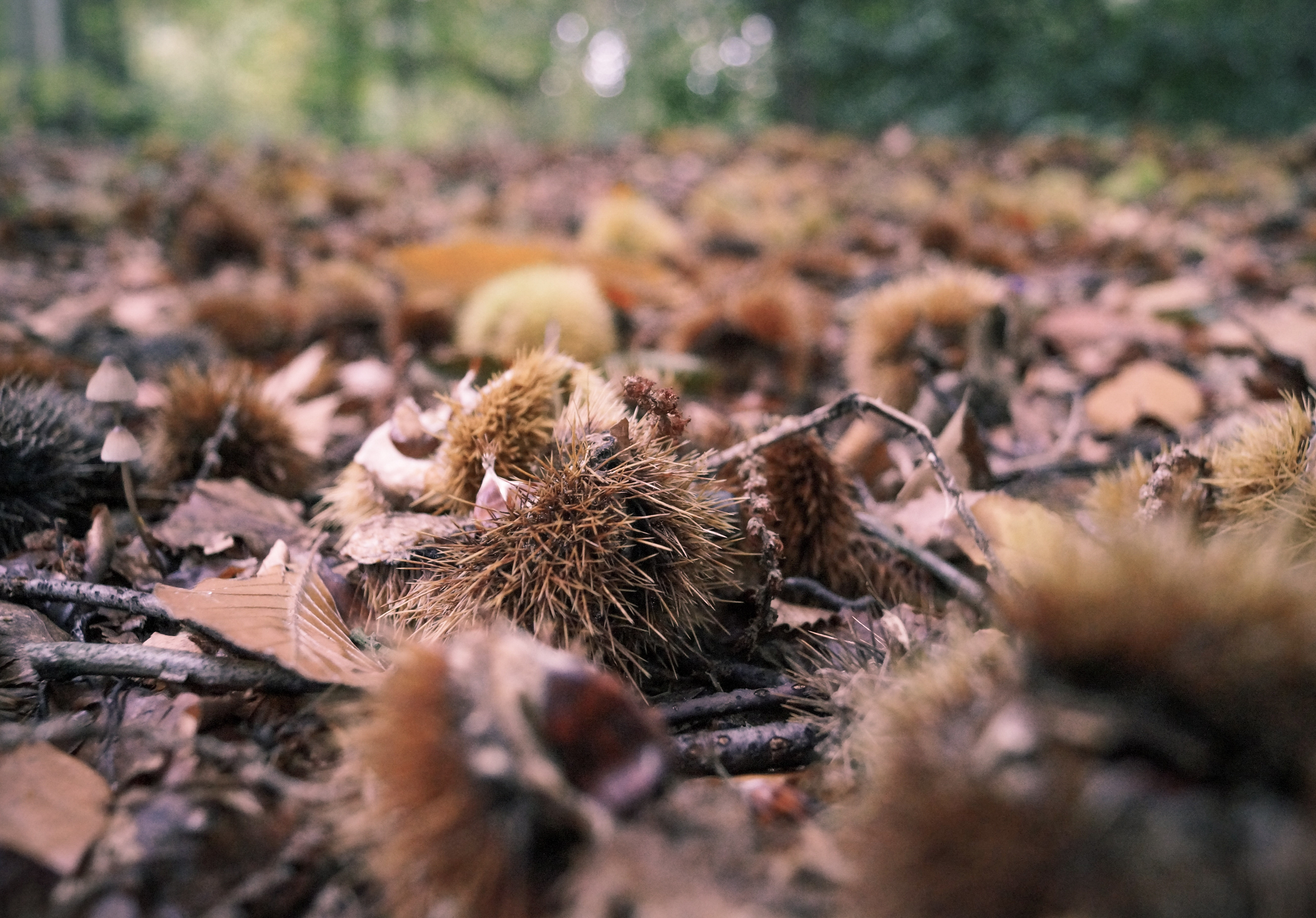 chestnuts Fall